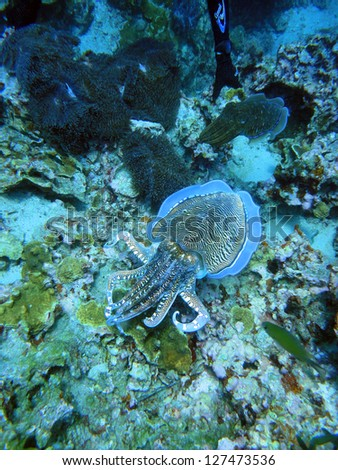cuttlefish on the coral reef