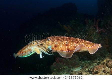Cuttlefish pair mating - stock photo