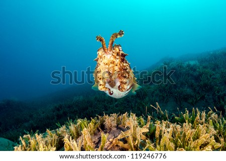 Cuttlefish rears up as it approaches the camera on a dark afternoon - stock photo