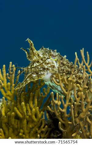 Cuttlefish swimming amongst yellow soft coral with tentacles raised. Taken in the Wakatobi, Indonesia.