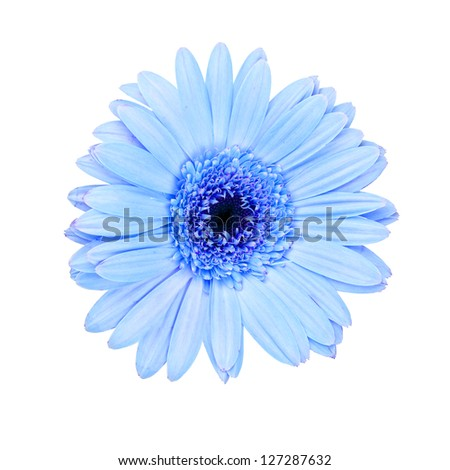 cyan gerbera daisy  isolated on white background