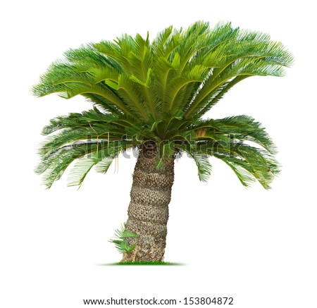 Cycad palm tree isolated on white background