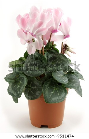 Cyclamen flowerpot isolated on white background - stock photo