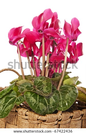cyclamen in basket flower decoration  isolated - stock photo