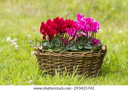 cyclamen persicum in a basket - stock photo