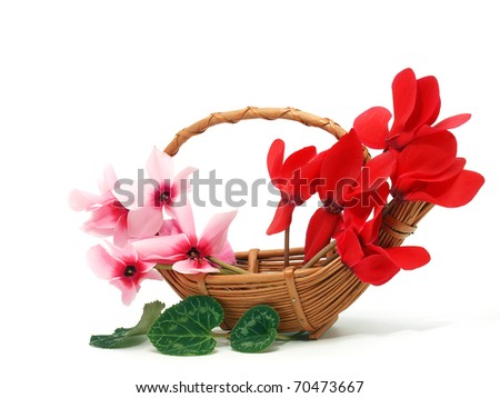 Cyclamens in the basket - stock photo