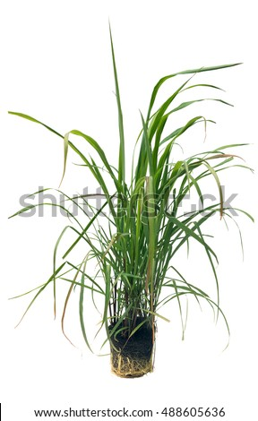 Cymbopogon, better known as lemongrass.  Isolated on white background