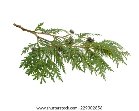 cypress branch isolated on white background - stock photo