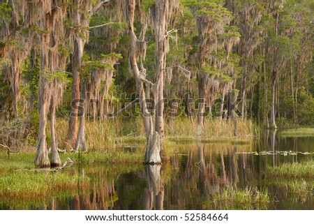 Cypress Covered in Spanish Moss on Lakes Edge at Sunset - stock photo