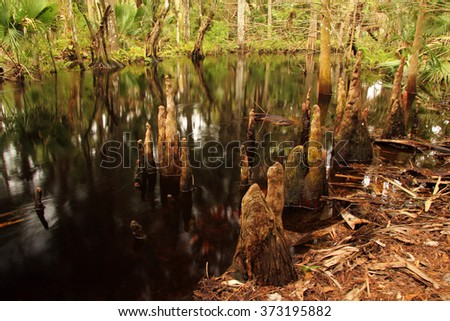 Cypress Knees along scenic Kitching Creek in Jonathan Dickinson State Park, South Florida - stock photo
