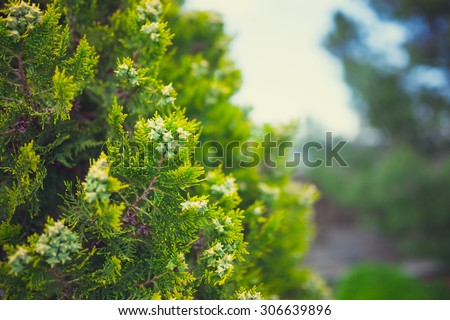 Cypress, pine green plant photo up close - stock photo