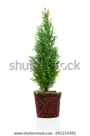 Cypress, thuja with roots isolated on white background - stock photo