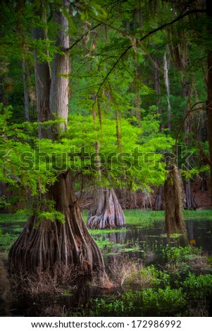 Cypress tree in the swamp - stock photo