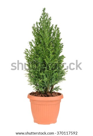 Cypress tree isolated on white. whithout shadow - stock photo