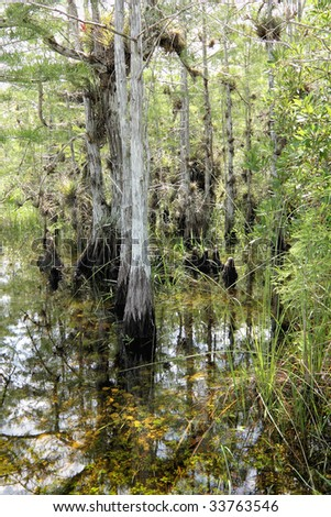 Cypress trees in the Florida Everglades - stock photo