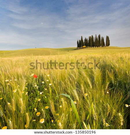 Cypress trees in Tuscany, Landscape - stock photo
