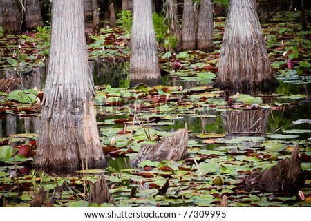 Cypress trees lily pads  in Florida swamp. - stock photo