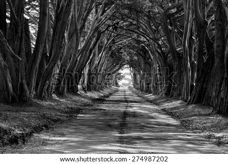 Cypress Trees Tunnel Black and White - stock photo