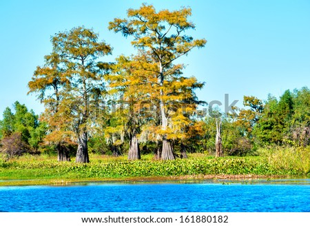 Cypresses in Atchafalaya Basin, turning golden in fall. - stock photo
