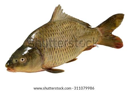 Cyprinus carpio, Fish common carp isolated on white - stock photo