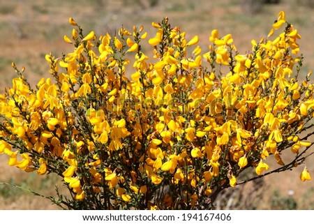 Cytisus scoparius. Black Broom, Hiniesta. - stock photo