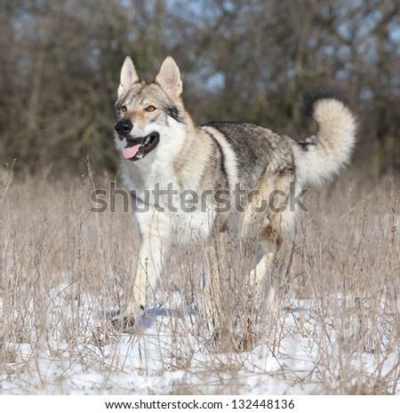 Czechoslovakian wolfdog in winter - stock photo