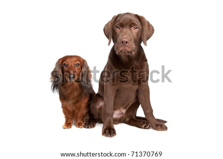 Dachshund and a chocolate labrador pup isolated on white