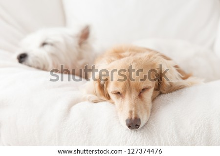 Dachshund and terrier sleeping on the sofa white - stock photo