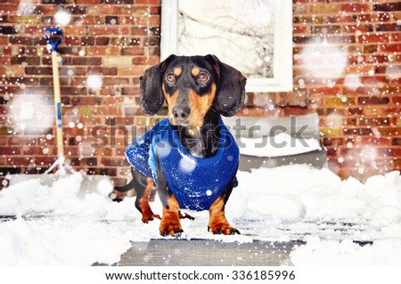 Dachshund, black and tan miniature purebred dog wearing winter jacket in snow, falling snow effect, selective focus, toned image - stock photo