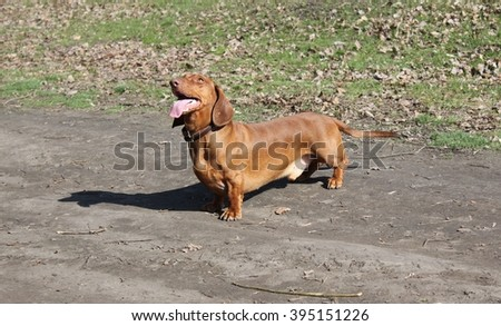 Dachshund brown color on a walk in the park