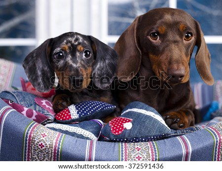 dachshund chocolate  dog and puppy marble Harlequin - stock photo