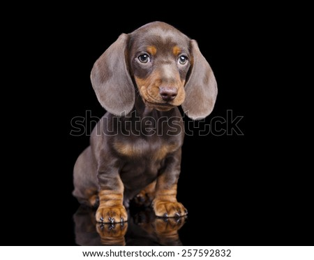 dachshund chocolate puppy - stock photo