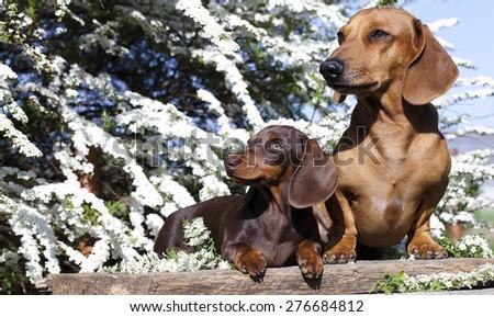 dachshund chocolate puppy and red dog dachshund  - stock photo