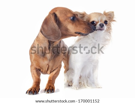 dachshund dog  and chihuahua in front of white background - stock photo