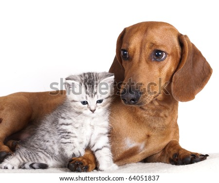 dachshund dog and kitten - stock photo
