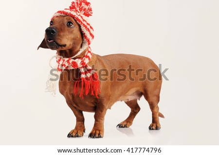 dachshund dog dressed into hat and scarf - stock photo