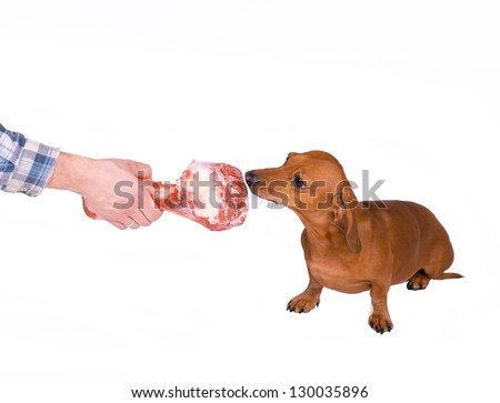 Dachshund dog holding a bone - stock photo