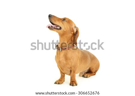 Dachshund dog isolated on a white