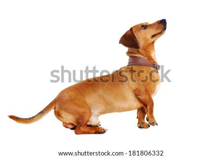 dachshund dog looking up full length portrait
