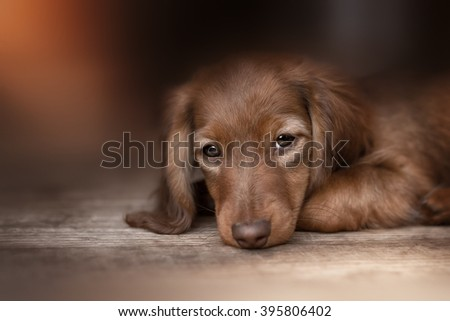 Dachshund dog looks at camera in home - stock photo