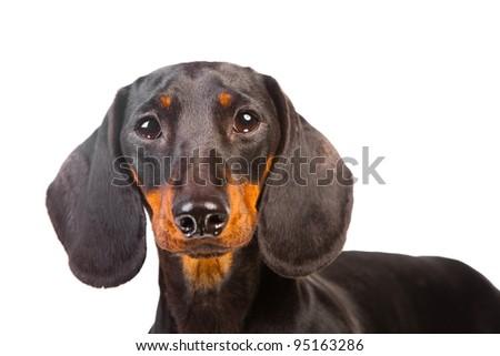 Dachshund Dog on isolated white background - stock photo