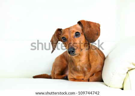 dachshund dog on sofa - stock photo