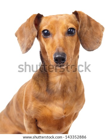 Dachshund dog portrait - stock photo