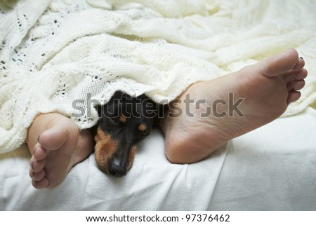 Dachshund dog sleeping between feet - stock photo