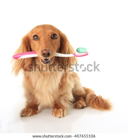 Dachshund dog with a toothbrush - stock photo