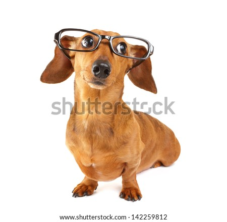 Dachshund dog with glasses - stock photo