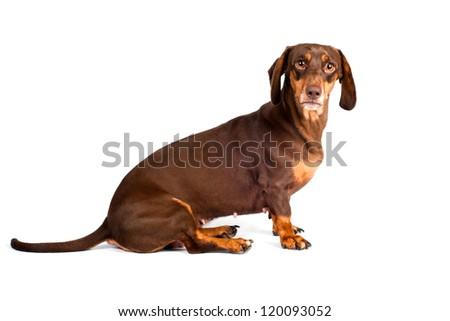 dachshund dog with huge eyes - stock photo