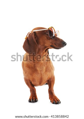 Dachshund in sunglasses isolated on white.