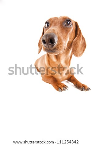 dachshund in the estudio - stock photo