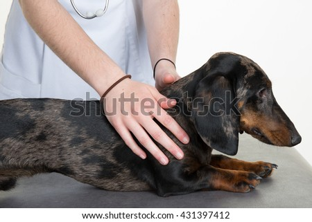 Dachshund in the hands of the vet - stock photo